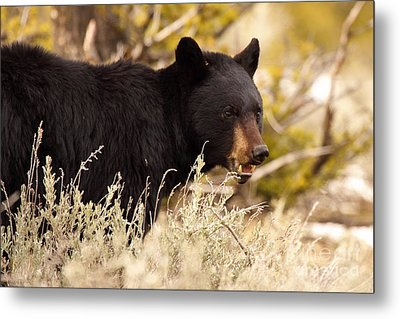Metal Print featuring the photograph Black Bear Showing Teeth by Max Allen