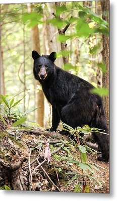 Black Bear Smile Metal Print by Debbie Green