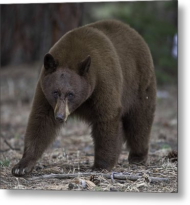 Black Bear Metal Print by Tom Wilbert