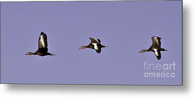 Black Bellied Whistling Ducks In Flight Metal Print by Anne Rodkin