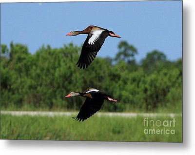 Black-bellied Whistling Ducks Metal Print