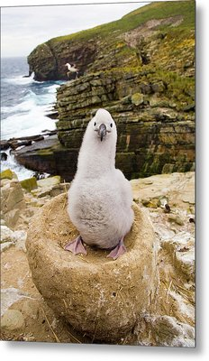 Black-browed Albatross Chick Falklands Metal Print