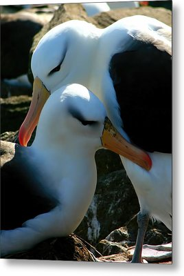 Metal Print featuring the photograph Black Browed Albatross Pair by Amanda Stadther