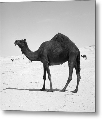Black Camel In Qatar Metal Print by Paul Cowan