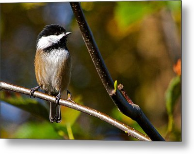 Black Cap Chick-a-dee Metal Print by Scott Holmes