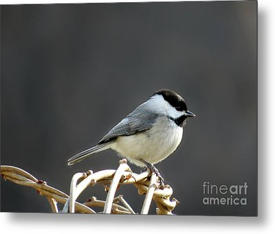 Metal Print featuring the photograph Black-capped Chickadee by Brenda Bostic