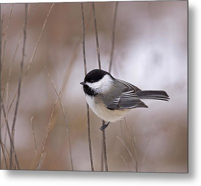 Black-capped Chickadee Metal Print by Brian Magnier