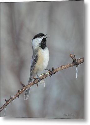 Black Capped Chickadee Calling Metal Print by Daniel Behm