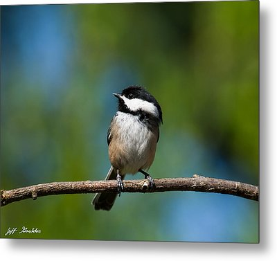Black Capped Chickadee Perched On A Branch Metal Print by Jeff Goulden