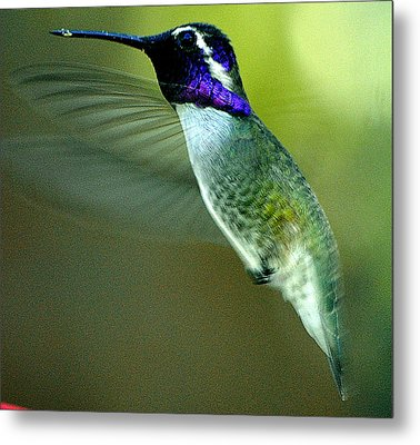 Metal Print featuring the photograph Black Chinned Male In Flight To Feeder by Jay Milo