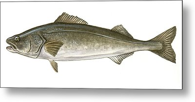 Black Cod Metal Print by Logan Parsons