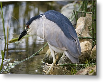 Metal Print featuring the photograph Black-crown Heron Going Fishing by David Millenheft