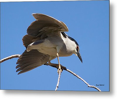 Black Crowned Night Heron Hanging On Metal Print