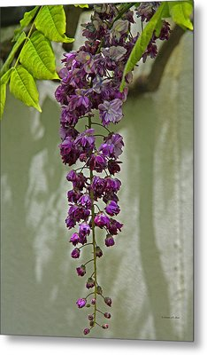 Black Dragon Wisteria Metal Print by Suzanne Stout