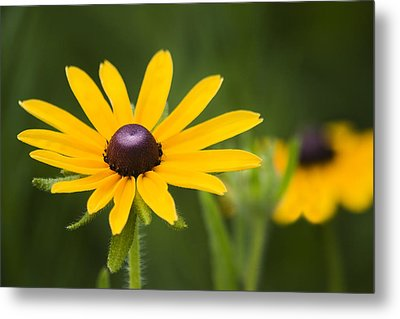 Black Eyed Susan Metal Print by Adam Romanowicz