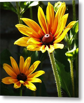 Black Eyed Susan Metal Print by Al Fritz