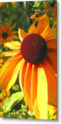 Metal Print featuring the photograph Black-eyed Susan In Your Face by Brooks Garten Hauschild