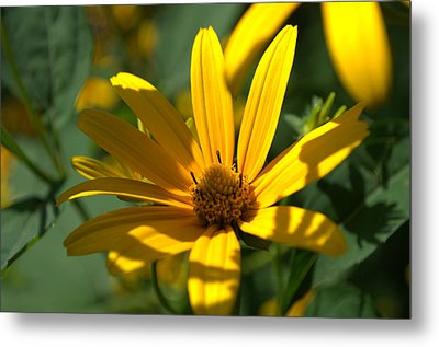 Metal Print featuring the photograph Black Eyed Susan by Cathy Shiflett