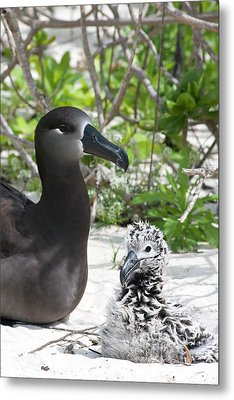 Black-footed Albatross (phoebastria Metal Print by Daisy Gilardini