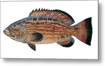 Black Grouper Metal Print by Carey Chen