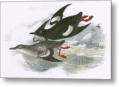 Black Guillemot Metal Print