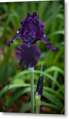 Metal Print featuring the photograph Black Iris by Penny Lisowski