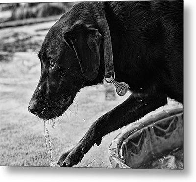Black Lab Playing In Water Metal Print by Robert Durbeck