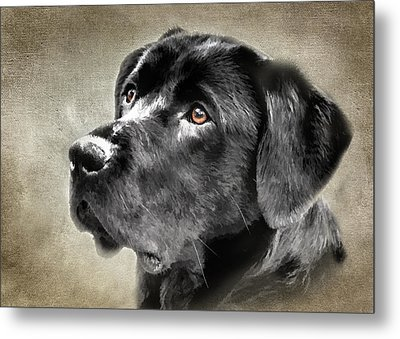Black Lab Portrait Metal Print