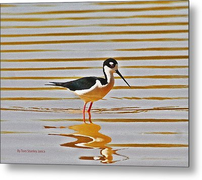 Metal Print featuring the photograph Black Neck Stilt Standing by Tom Janca