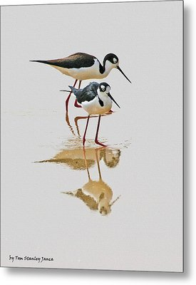 Black Neck Stilts Togeather Metal Print