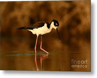 Metal Print featuring the photograph Black-necked Stilt Waterdrops by John F Tsumas