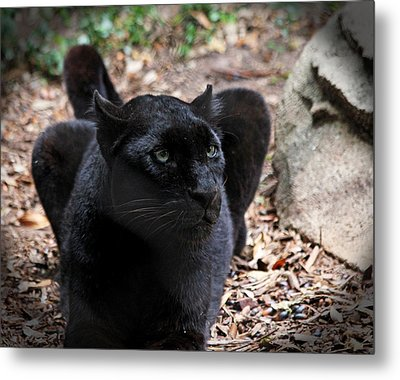 Black Panther Metal Print by Judy Vincent