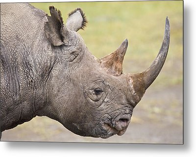 Black Rhino Great Rift Valley Kenya Metal Print