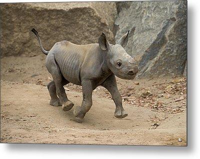 Black Rhinoceros Calf Running Metal Print by San Diego Zoo