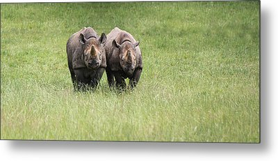 Black Rhinoceros Diceros Bicornis Michaeli In Captivity Metal Print by Matthew Gibson