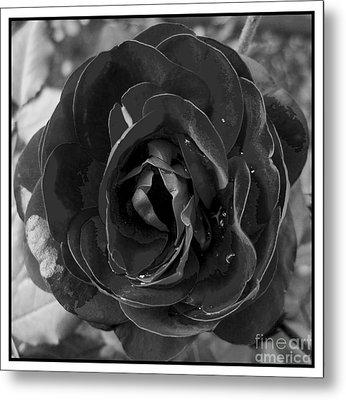 Black Rose Metal Print by Nina Ficur Feenan