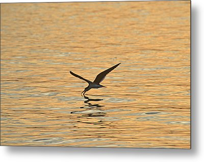 Metal Print featuring the photograph Black Skimmer by Dana Sohr