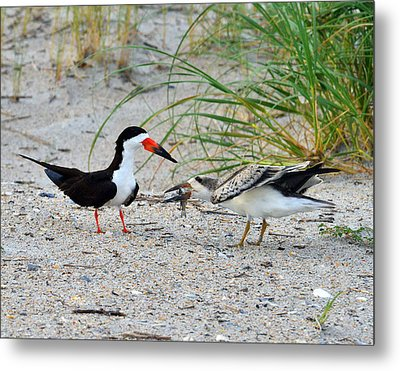 Metal Print featuring the photograph Black Skimmers by Dana Sohr