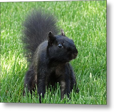 Black Squirrel Metal Print by J L Zarek