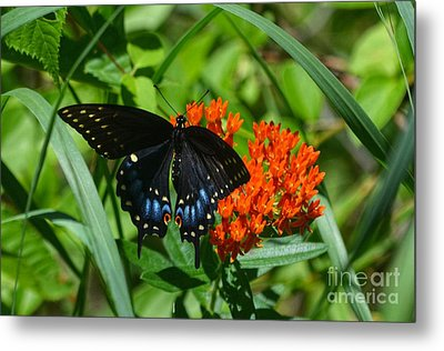 Black Swallow Tail On Beautiful Orange Wildlflower Metal Print by Peggy Franz