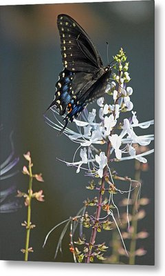 Black Swallowtail Among The Cats Whiskers Metal Print by Suzanne Gaff
