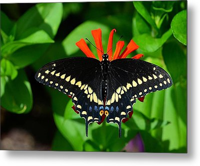 Black Swallowtail Butterfly Metal Print by Kathy Eickenberg