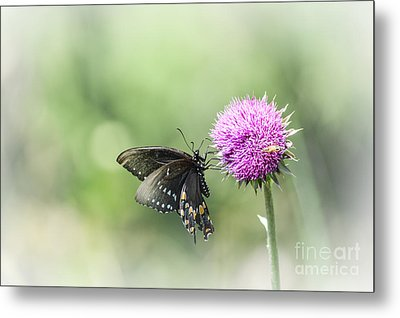 Black Swallowtail Dreaming Metal Print by Debbie Green