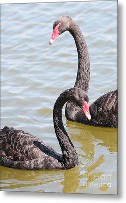 Black Swan Pair Metal Print by Carol Groenen