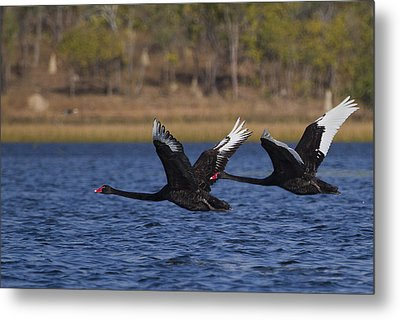 Black Swans In Flight Metal Print