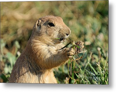 Black-tailed Prairie Dog Metal Print by George Atsametakis