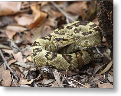 Black-tailed Rattlesnake Metal Print by Brian Magnier