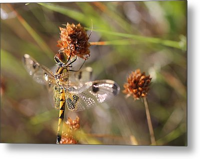 Black-tailed Skimmer Dragonfly Metal Print by Lorri Crossno