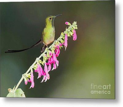 Black-tailed Train-bearer Hummingbird Metal Print by Dan Suzio