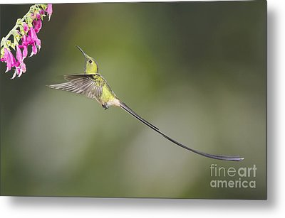 Metal Print featuring the photograph Black-tailed Trainbearer Hummingbird by Dan Suzio